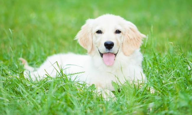 Hund på gräsmattan